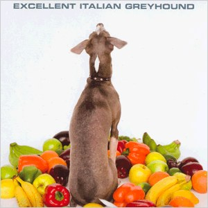 shellac-excelent-italian-greyhound.jpg